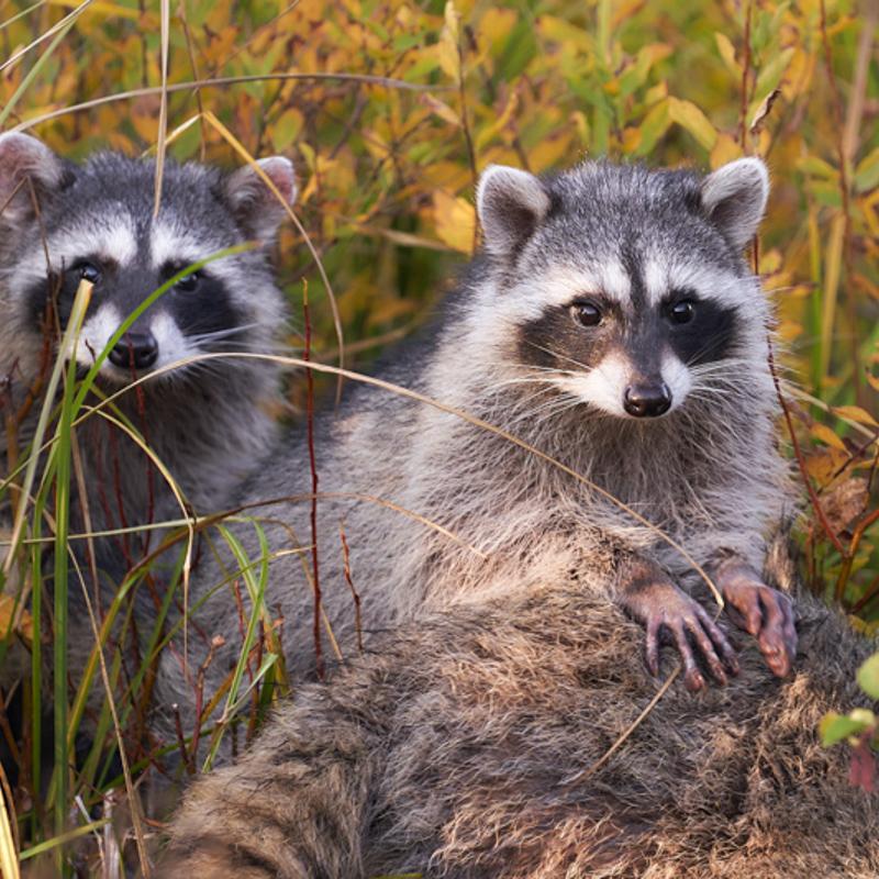 A pair of curious raccoons