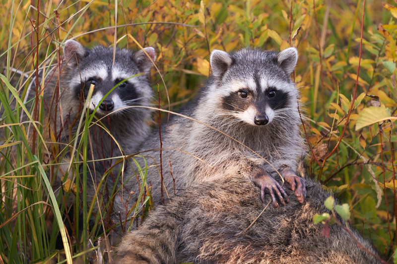 A Pair of Young Raccoons with Mother