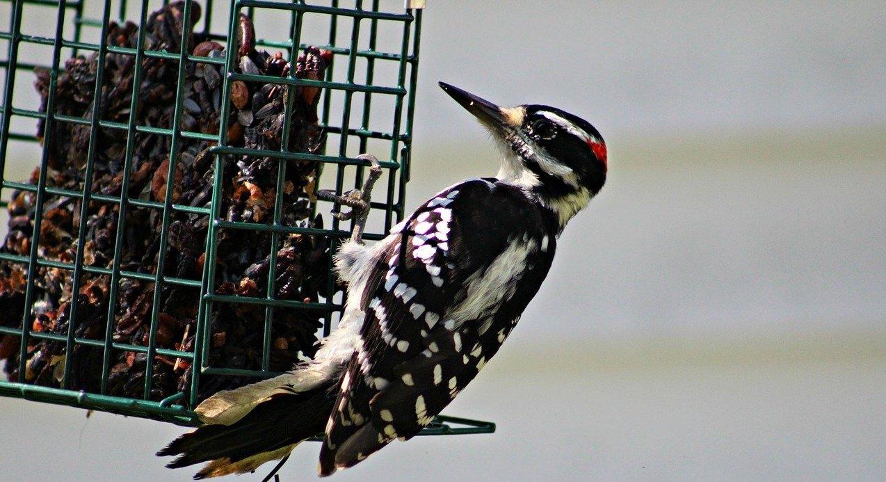 woodpecker-think-wild-blog