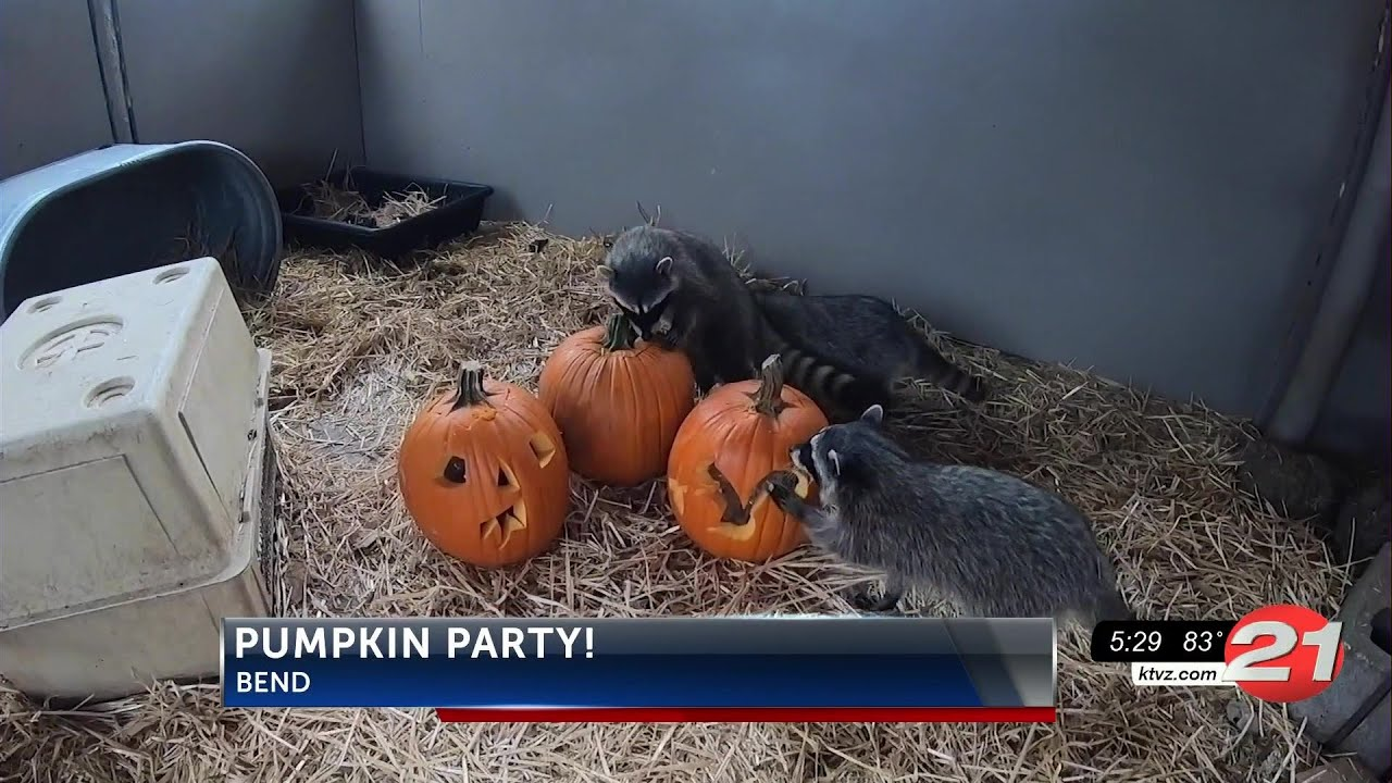 Pumpkins Carving and Wildlife Enrichment